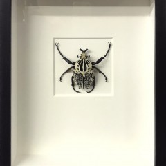 "Christopher Marley ""Ornate Goliath Beetle"" Insect Shadowbox"