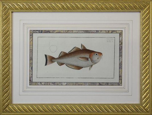 "Antique Hand Colored ""Gadus barbatus"" Fish Engraving"