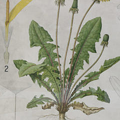 19th c. Botanical Specimens Framed Chromolithograph