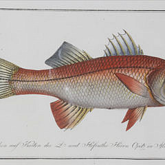 Set of Six Fish Lithographs, 18th century